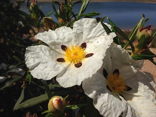 Alentejo - Flores Silvestres - Campo