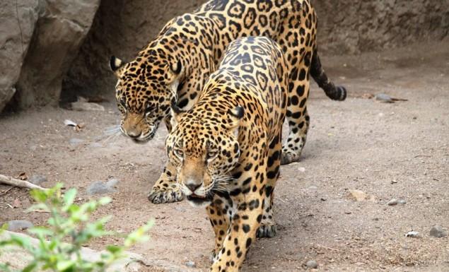 Τρόμος στο Αττικό Ζωολογικό Πάρκο: Σκότωσαν δύο τζάγκουαρ που δραπέτευσαν ενώ ήταν μέσα επισκέπτες