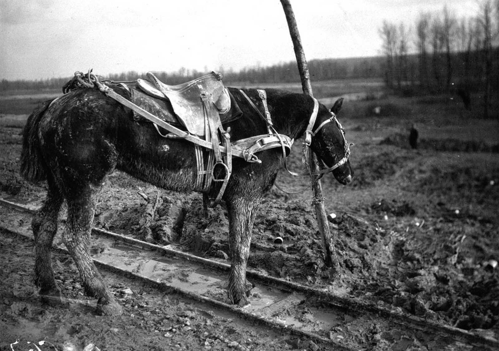 A draft horse hitched to a post, its partner just killed by shrapnel, 1916.