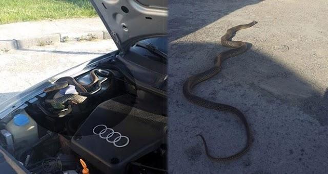 Araba'nın motorundan dev yılan çıktı