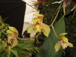 Bifrenaria charlesworthii orchid plant care and culture