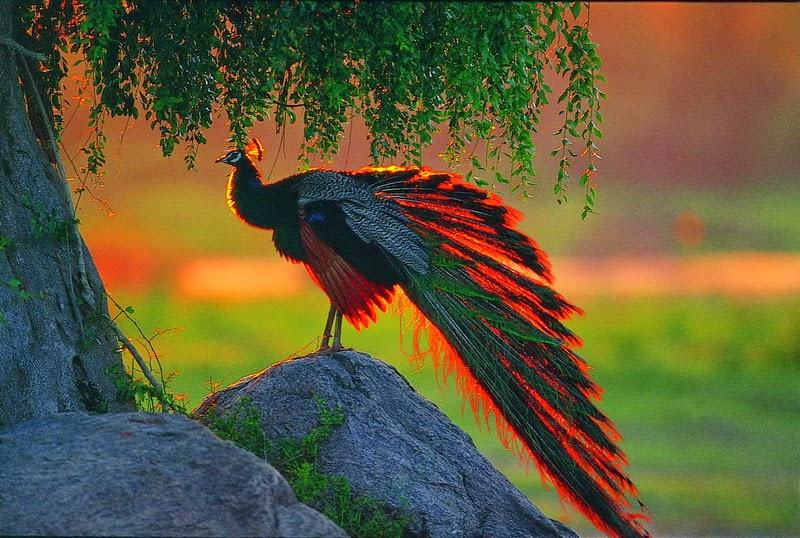 Desktop HD Wallpapers Free Downloads: Peacock Bird HD