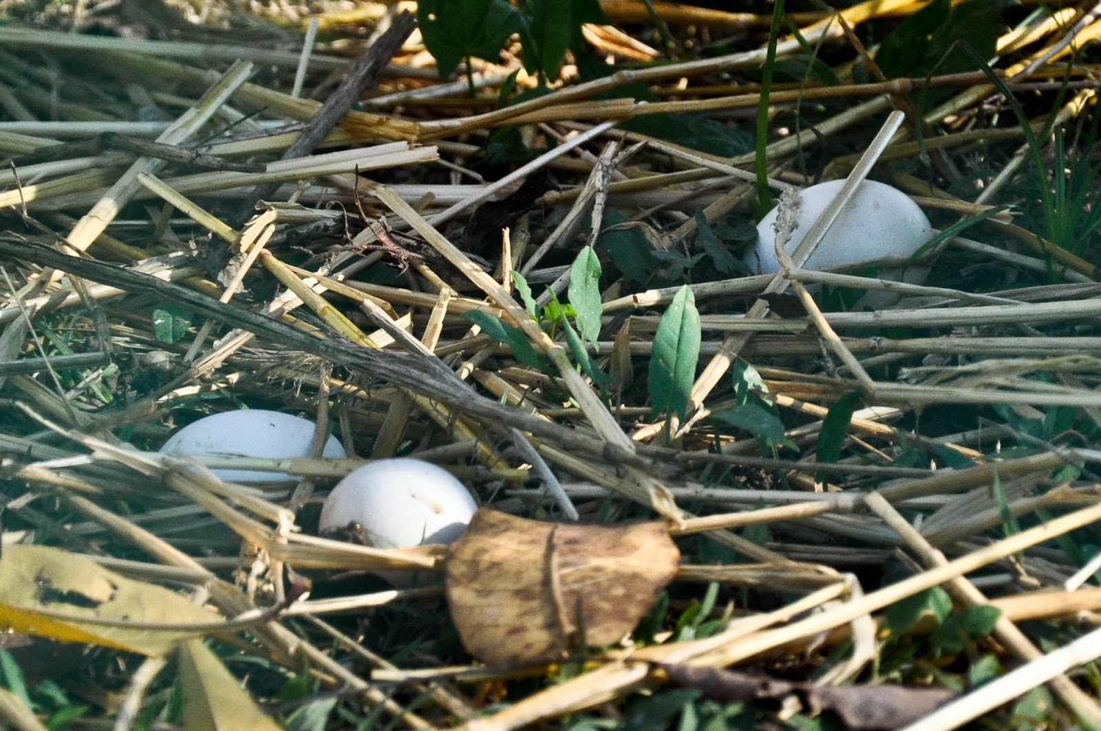Eggs lying in the grass by the hen-house, Agriturismo La Borina, Veneto, Italy