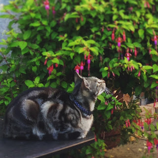 A tabby cat in front of a fuchsia bush