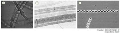 Pengertian Pembelahan Biner Pada Reproduksi Bakteri dan Pengelompokan Bakteri Eubacteria