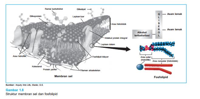 Pengertian membran sel selaput plasma dan fungsinya sakersomu di depan telah dijelaskan bahwa membran plasma bersifat selektif permeabel semipermeabel yang artinya membran plasma dapat dilalui oleh molekul atau ion ccuart Choice Image