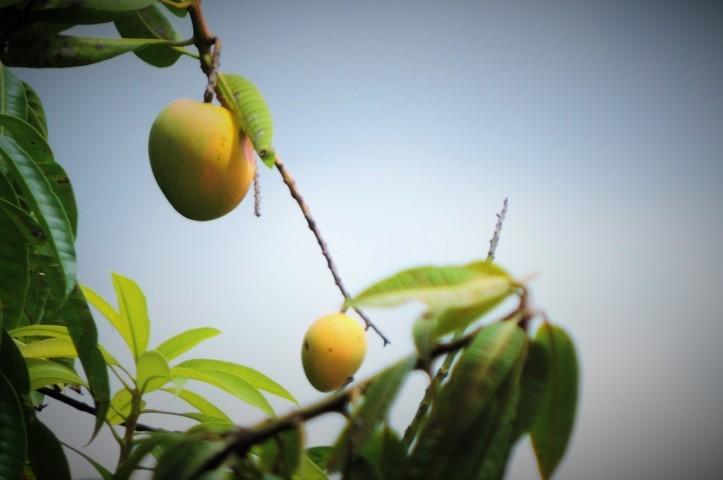 árbol de mangos frutas palo de mango maduro