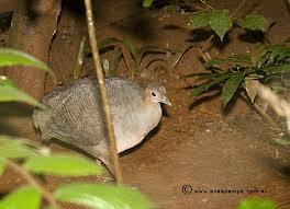 aves en peligro de Argentina Macuco Tinamus solitarius