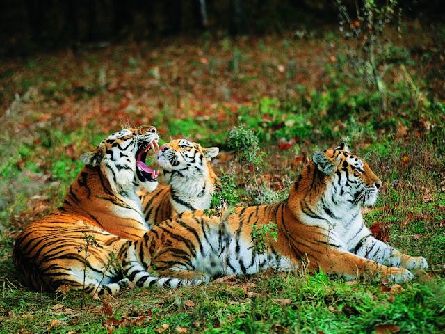 النمور في لحظة استرخاء ، واحدة من الفترسات الأكثر نفوذا في العالم !