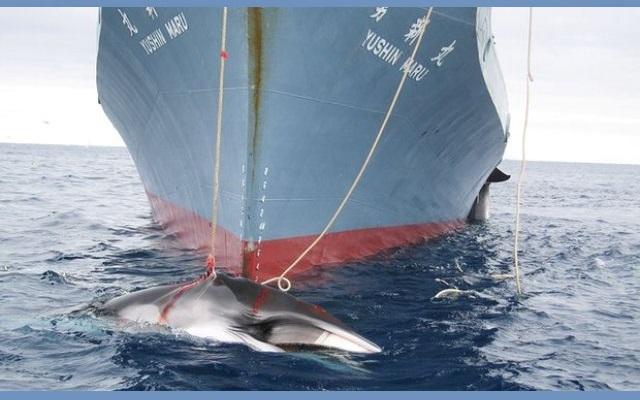 Σφαγή φαλαινών