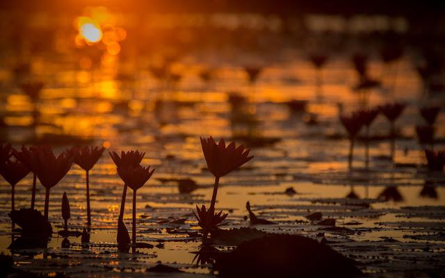 شاهد سحر بحيرة اللوتس الأحمر في تايلند I-visited-the-red-lotus-sea-in-Thailand-57b31618170c8__880