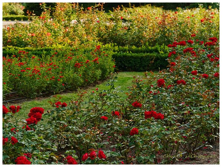 Ogród botaniczny Poznań różanka