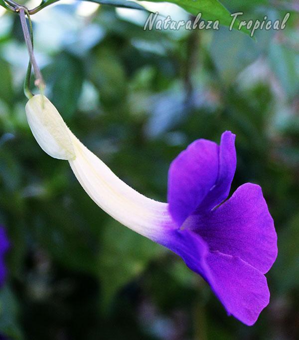 Vista lateral de la flor del Manto de Rey donde se observa su forma atrompetada, Thunbergia erecta