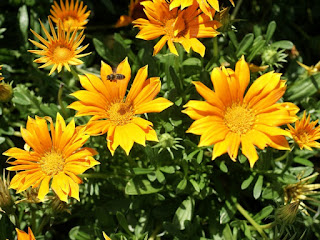 Gazania X Hybrida 'Mini Star'