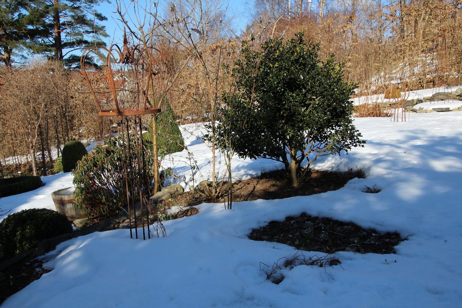 Tjältorka frystorka vintergröna buskar
