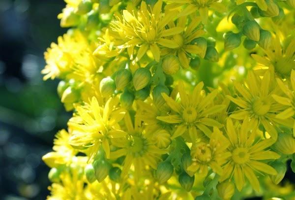 inflorescencia de aeonium arboreum