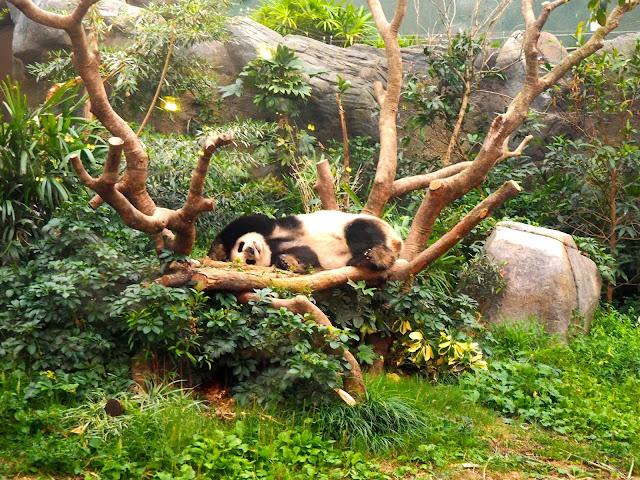 Giant Panda in Amazing Asian Animals area of Ocean Park