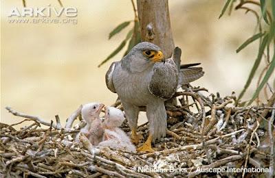 Halcón gris Falco hypoleucos