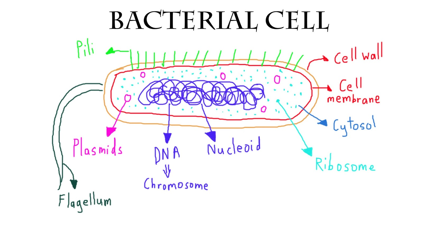 bacterial cell diagram and functions rotax 914 wiring dinesh kumar ba hons computer animation arts uca