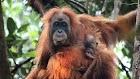 Pembantaian Orangutan di Indonesia dengan 130 Tembakan, Menjadi Sorotan Dunia Internasional