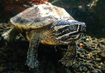 Bentuk fisik Malayan Snail Eater Turtle