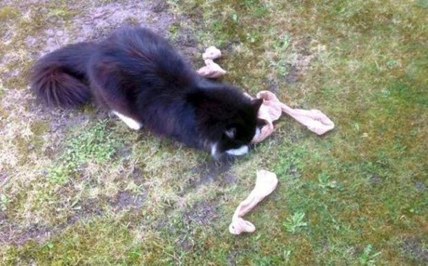 """Chú mèo """"biến thái"""" có sở thích ăn cắp.... đồ lót nhà hàng xóm"""