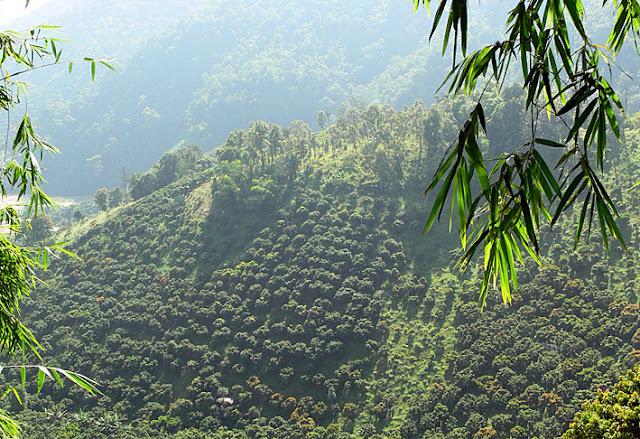 tea plantation at Doi Mae Salong