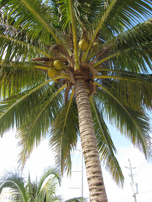 Coconut Trees: Who Knew? - San Pedro Scoop