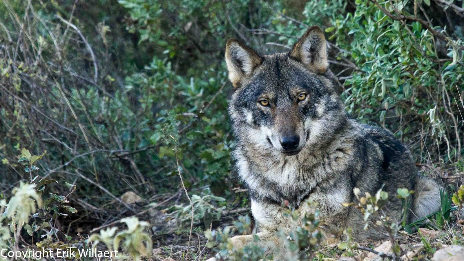 wolf roedel jagen