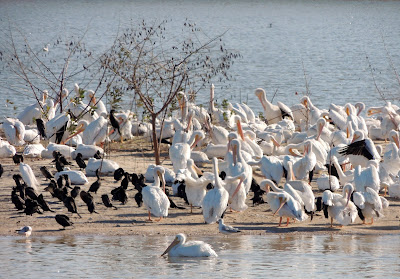 Schiller Lake:   Small island in the detention pond teeming with white pelicans