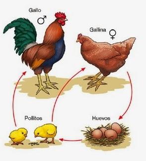 Gallo gallina reproduccion asexual de las plantas