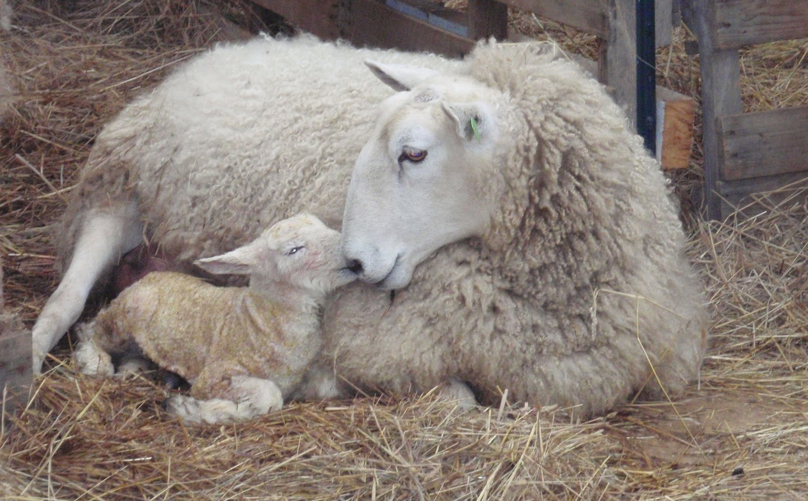 Sheep With Baby Lambs In Spring Stock Photo - Image of ... |Baby Lambs In Spring