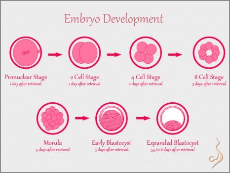 Sofat Infertility & Women Care Centre India: Blastocyst Embryo
