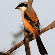 Cara Mengurangi Salto Pada Burung Cendet