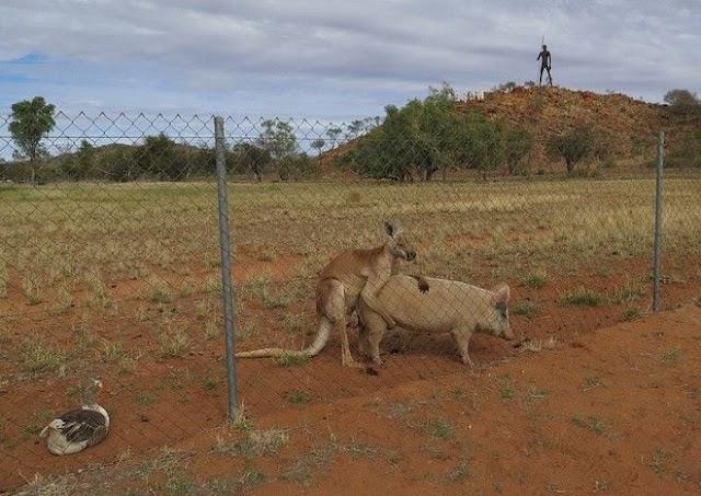 Αρσενικό Καγκουρό και θηλυκό Γουρούνι έχουν γίνει αχώριστοι εραστές (φώτο)