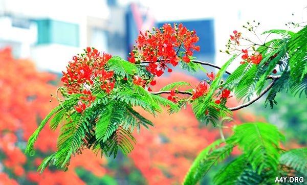 phượng nở đỏ trời tháng 6