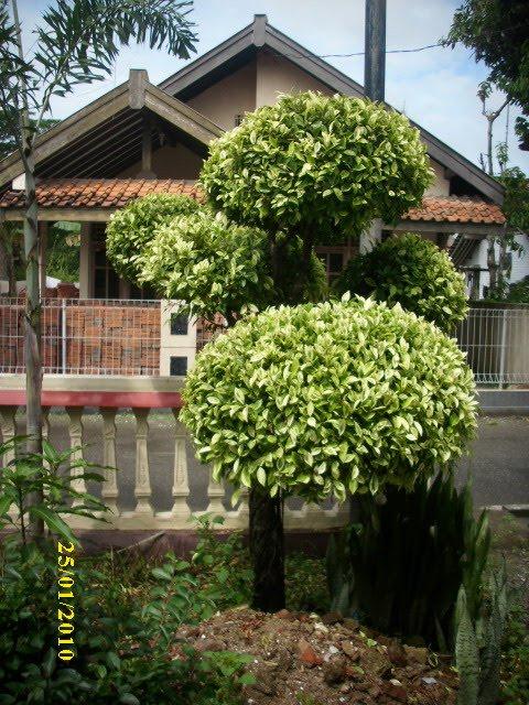 Jual Pohon Anting Putri Yasmin Flamboyan Kenari