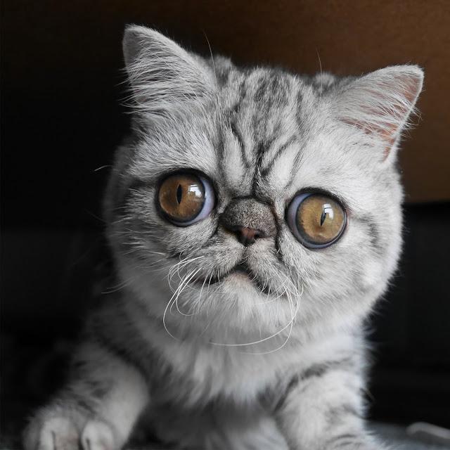 Herman: O gato com olhos enormes que tornou-se estrela na internet