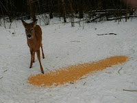 curious little deer eating corn
