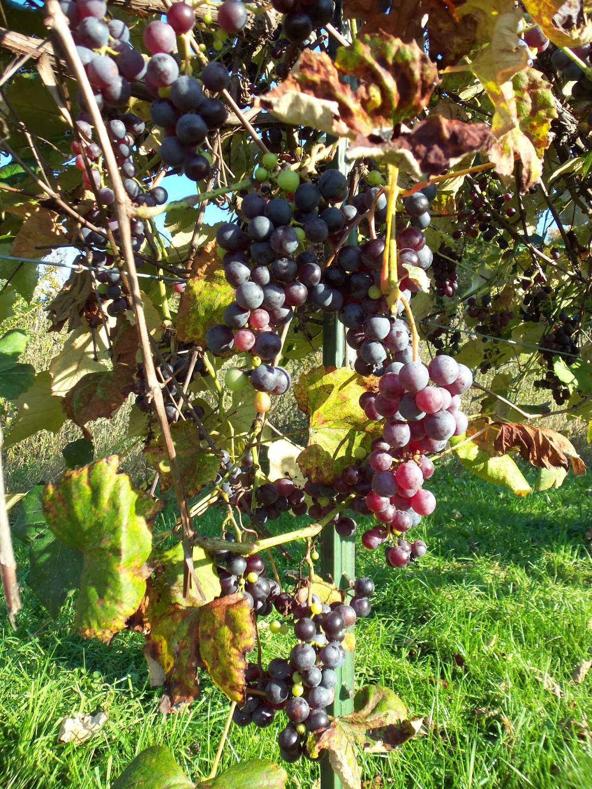 Whizbang Trellis Instruction A New Ideafor Growing Grapes