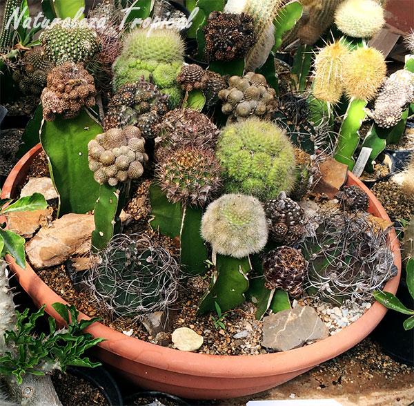 Maceta con varios cactus injertados