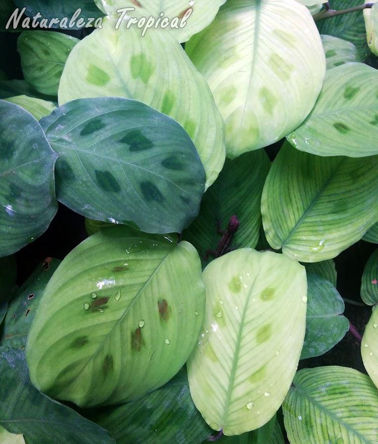 Plantas conocidas como Marantas