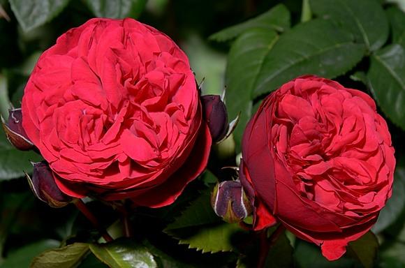 Piano rose сорт розы фото