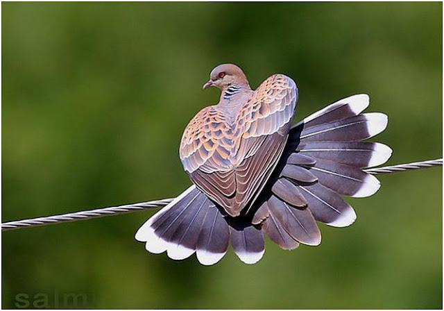 Bagaimana Cara Memprediksi Umur Burung Perkutut?