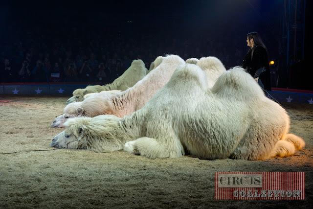 4 chameaux étendu dans la sciure de la piste