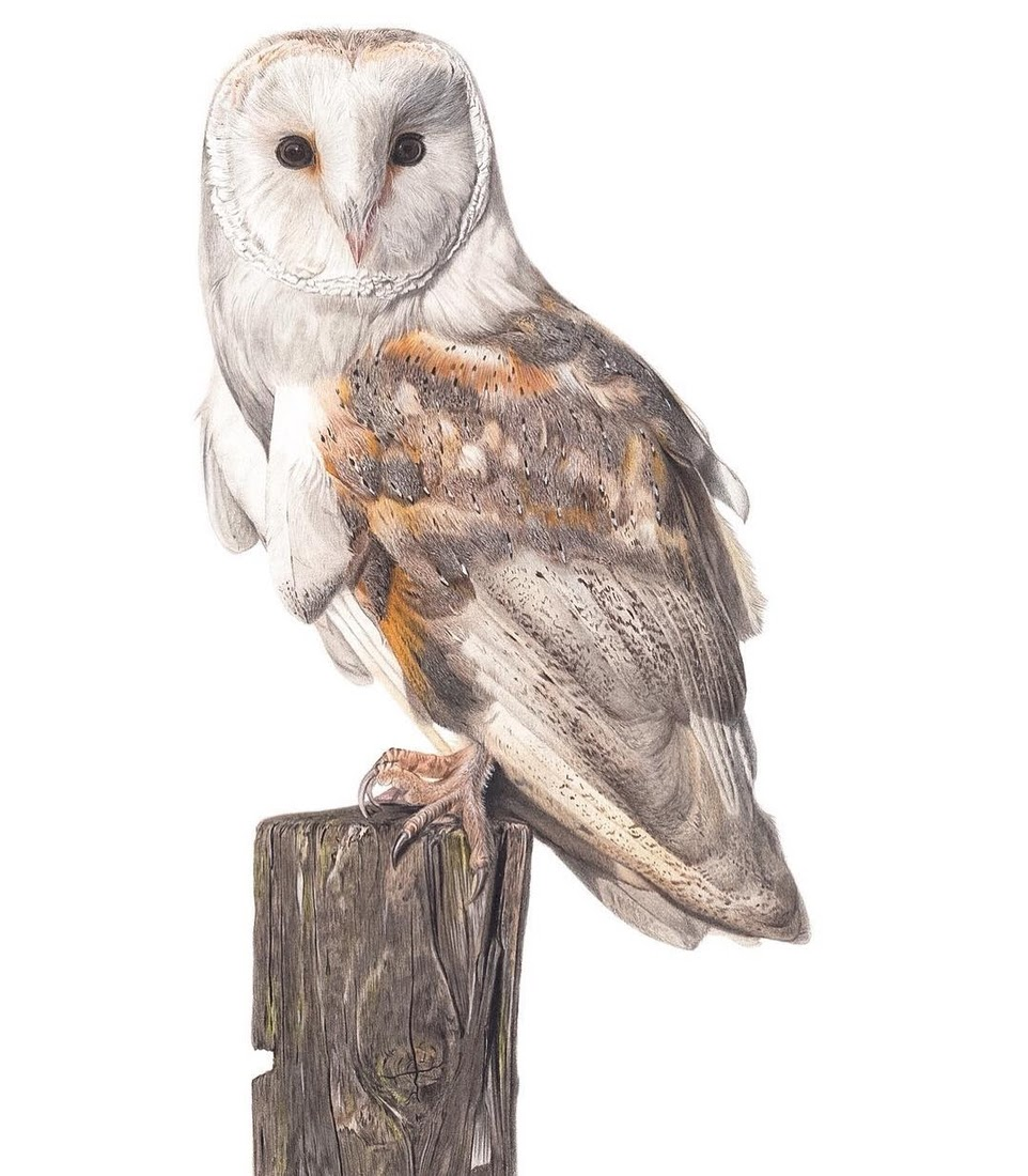 08-Sage-My-Barn-Owl-Claire-Milligan-Cats-birds-and-Dogs-Realistic-Animal-Drawings-www-designstack-co
