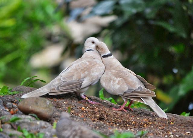 Cara Menjodohkan Burung Perkutut