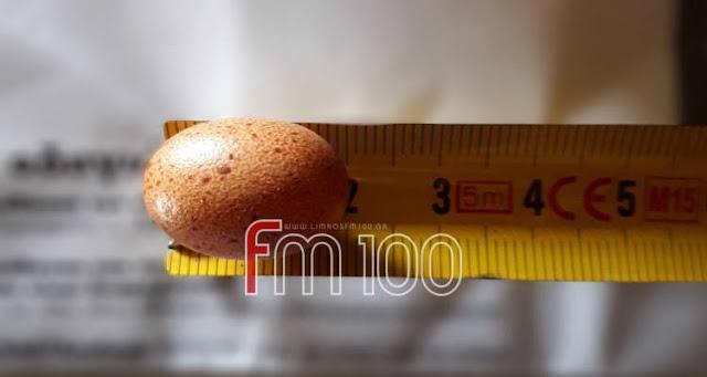 Λήμνος: Βρήκε αυγό κότας ύψους 2 εκατοστών! Έσπασε το παγκόσμιο ρεκόρ; (photos)