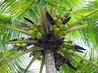 Hasil gambar untuk pohon kelapa