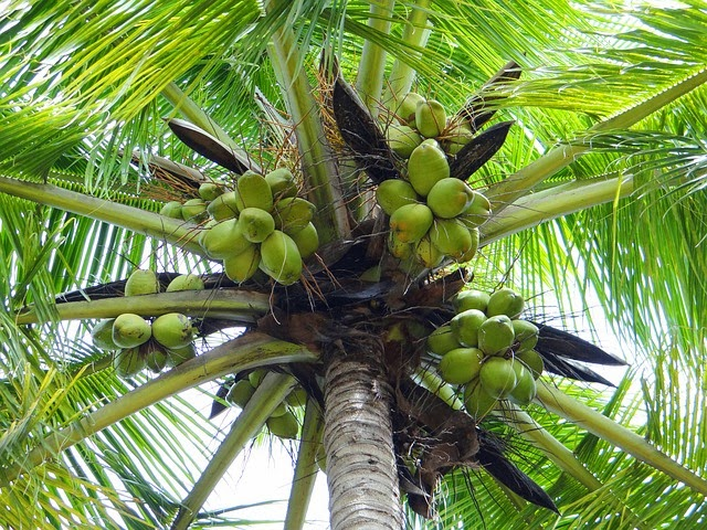 Tips Menyuburkan Pohon Pepaya dan Pohon Kelapa